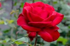 Η ολυμπιάδα κόκκινη αυξήθηκε λουλούδι στον ήλιο Στοκ Εικόνες