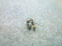 Η πάλη μυρμηγκιών Στοκ Φωτογραφίες