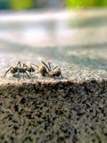 Η πάλη μυρμηγκιών Στοκ Εικόνα