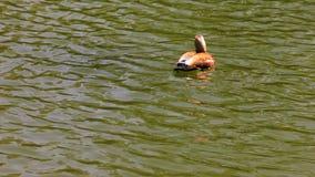 Η πάπια βουτά στο νερό απόθεμα βίντεο