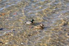 Η πάπια και η πάπια κολυμπούν στον ποταμό ενάντια στο σκηνικό ενός όμορφου κατώτατου σημείου στοκ φωτογραφία με δικαίωμα ελεύθερης χρήσης