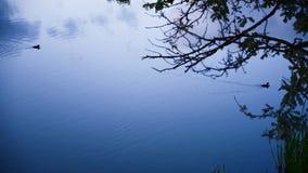 Η πάπια κολυμπά στη λίμνη νύχτας απόθεμα βίντεο