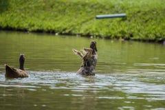 Η πάπια παίζει τη διασκέδαση νερού στοκ φωτογραφία με δικαίωμα ελεύθερης χρήσης