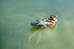 Η πάπια Muscovy κολυμπά Στοκ Εικόνες