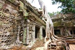 Η παγκόσμια κληρονομιά της ΟΥΝΕΣΚΟ ναών TA Prohm σε Angkor, Siem συγκεντρώνει Στοκ Φωτογραφίες