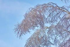 Η παγωμένη σημύδα βγάζει φύλλα, βλαστάνει, branchs, βαριοί χειμώνας και φθινόπωρο Στοκ Εικόνες