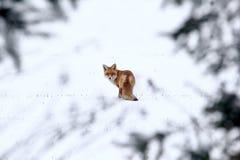 Η παλαιά αλεπού πονηριών θέτει μια κρύα ημέρα Φεβρουαρίου στοκ φωτογραφία με δικαίωμα ελεύθερης χρήσης