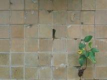 Η παλαιά σύσταση τοίχων κεραμιδιών και το δέντρο στοκ φωτογραφίες με δικαίωμα ελεύθερης χρήσης