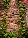 Η παλαιά τεκτονική τούβλινου που εισβάλλεται με τον άγριους κισσό και τα σταφύλια στοκ εικόνες