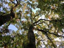 Η παλαιά φωτογραφία δέντρων με βγάζει φύλλα και μπλε ουρανός στο υπόβαθρο στοκ εικόνα