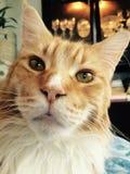 Η πανέμορφη γάτα Μαίην Coon αγάπησε το κόκκινο Στοκ Φωτογραφίες