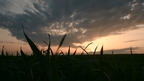Η πανοραμική σκιαγραφία ενός πράσινου τομέα σίτου ενάντια στο σκηνικό του ήλιου ρύθμισης και ενός επικού ουρανού με το ηλιοβασίλε απόθεμα βίντεο