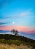 Η πανσέληνος πέρα από ένα δέντρο πεύκων Torrey όπως αντιμετωπίζεται από τα πεύκα Torrey δηλώνει την επιφύλαξη στο Σαν Ντιέγκο Στοκ εικόνες με δικαίωμα ελεύθερης χρήσης