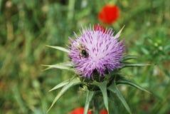 Η παπαρούνα ανθίζει το δικαίωμα και τη μύγα Στοκ Εικόνα
