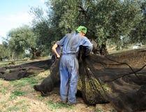 Η παραδοσιακή συγκομιδή των ελιών παραδίδει κοντά την Ανδαλουσία, Ισπανία Στοκ Φωτογραφία