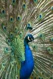 η παρουσίαση επενδύει με φτερά peacock Στοκ Εικόνες