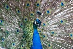 η παρουσίαση επενδύει με φτερά peacock Στοκ φωτογραφίες με δικαίωμα ελεύθερης χρήσης