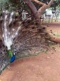 Η παρουσίαση Peacock είναι ίχνος τραίνων Στοκ Φωτογραφίες