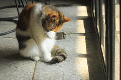 Η παχιά γάτα γλείφει και γλείφει, καθαριμένος στοκ εικόνα με δικαίωμα ελεύθερης χρήσης