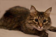 Η παχιά χνουδωτή γάτα βρίσκεται χαλαρωμένη στην πλάτη του Στοκ φωτογραφία με δικαίωμα ελεύθερης χρήσης