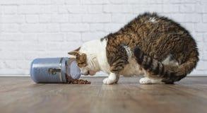 Η πεινασμένη, παλαιά τιγρέ γάτα τρώει τα τρόφιμα από ένα μπλε εμπορευματοκιβώτιο τροφίμων Στοκ Φωτογραφίες