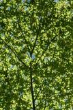 η περίληψη ενάντια στο μπλε βγάζει φύλλα τον ουρανό Στοκ φωτογραφία με δικαίωμα ελεύθερης χρήσης