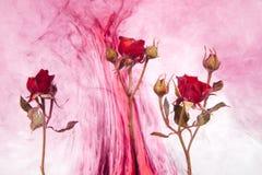 Η περίληψη ύφους υδατοχρώματος κόκκινη αυξήθηκε άσπρα ρόδινα φύλλα αίματος πάθους νερού εσωτερικών υποβάθρου ακρυλικά πράσινα γύρ στοκ εικόνες με δικαίωμα ελεύθερης χρήσης