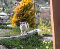 Η περιπλανώμενη γάτα που κρύβεται και που προσέχει κοιτάζει επίμονα αιλουροειδή αιχμηρό στοκ φωτογραφία με δικαίωμα ελεύθερης χρήσης