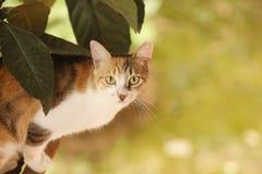 Η περιπλανώμενη γάτα tricolor με την κοντά γούνα και το α κοιτάζει επίμονα στοκ εικόνα