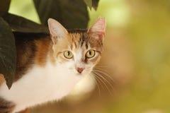 Η περιπλανώμενη γάτα tricolor με την κοντά γούνα και το α κοιτάζει επίμονα στον παρατηρητή στοκ φωτογραφίες