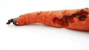 Η περιστροφή του σάπιου καρότου από το έντομο απόθεμα βίντεο