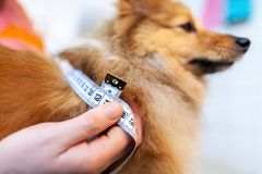 Η περιφέρεια κοιλιών μετριέται με ένα μέτρο ταινιών σχετικά με ένα σκυλί στοκ εικόνες