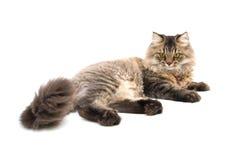 Η περσική γάτα βάζει στο πάτωμα Στοκ φωτογραφία με δικαίωμα ελεύθερης χρήσης