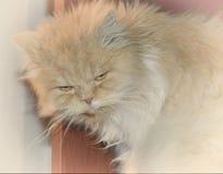 Η περσική γάτα ξύπνησε δυστυχισμένο Στοκ Εικόνες