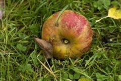 Η πεσμένη Apple Στοκ Εικόνα