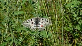 Η πεταλούδα απόλλωνας κάθεται σε ένα φύλλο στη φύση στοκ εικόνα