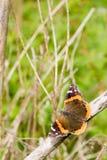 η πεταλούδα θέτει μακριά Στοκ Εικόνες