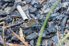 Η πεταλούδα κάθεται στους εκλείψες άνθρακες στοκ φωτογραφία