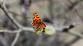 Η πεταλούδα κάθεται στο άνθος δέντρων απόθεμα βίντεο