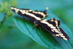 η πεταλούδα καταπίνει την ουρά Στοκ Φωτογραφία