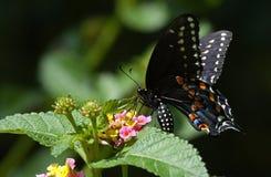 η πεταλούδα καταπίνει την  Στοκ Εικόνα