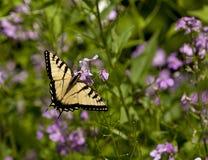 η πεταλούδα καταπίνει την  στοκ φωτογραφία