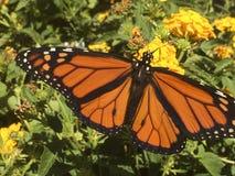 Η πεταλούδα μοναρχών επέκτεινε τα διαστιγμένα φτερά στοκ φωτογραφίες με δικαίωμα ελεύθερης χρήσης