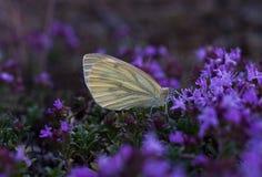 Η πεταλούδα πίνει το νέκταρ από ένα λουλούδι στοκ φωτογραφίες με δικαίωμα ελεύθερης χρήσης