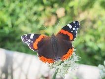 Η πεταλούδα πίνει το νέκταρ από ένα λουλούδι Τα φτερά είναι μαύρα με Στοκ Εικόνες