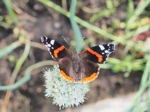 Η πεταλούδα πίνει το νέκταρ από ένα λουλούδι Τα φτερά είναι μαύρα με Στοκ εικόνες με δικαίωμα ελεύθερης χρήσης