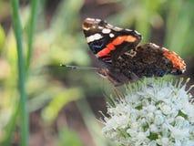 Η πεταλούδα πίνει το νέκταρ από ένα λουλούδι Τα φτερά είναι μαύρα με Στοκ Εικόνα