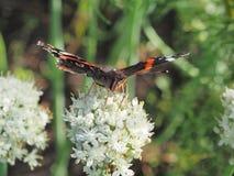Η πεταλούδα πίνει το νέκταρ από ένα λουλούδι Τα φτερά είναι μαύρα με Στοκ Φωτογραφίες