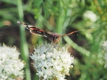 Η πεταλούδα πίνει το νέκταρ από ένα λουλούδι Τα φτερά είναι μαύρα με Στοκ φωτογραφία με δικαίωμα ελεύθερης χρήσης