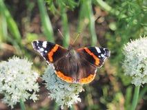 Η πεταλούδα πίνει το νέκταρ από ένα λουλούδι Τα φτερά είναι μαύρα με στοκ φωτογραφία
